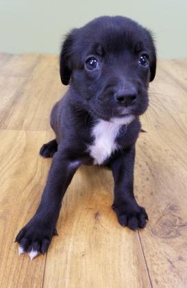 Anastasia Spaniel Baby - Adoption, Rescue