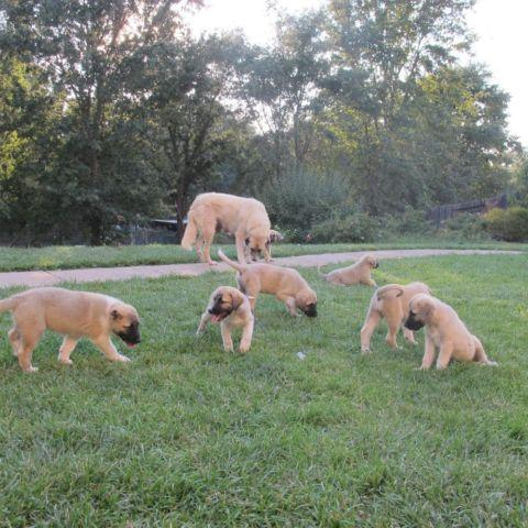 Anatolian Shepherd Puppies 8wks old for Sale in Citrus ...