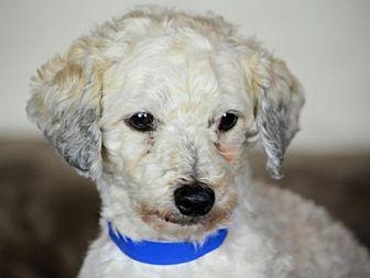 Andy Toy Poodle Adult Male For Sale In Colorado Springs