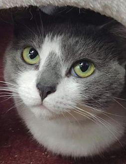 Angel Domestic Shorthair Adult Female