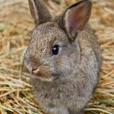 Angora Rabbit - Marshall - Small - Baby - Male - Rabbit