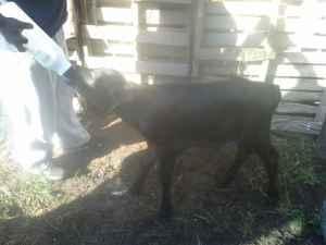 Angus bull calf - $160 (Nottoway)