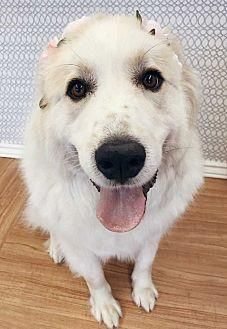 Annie Great Pyrenees Adult Female