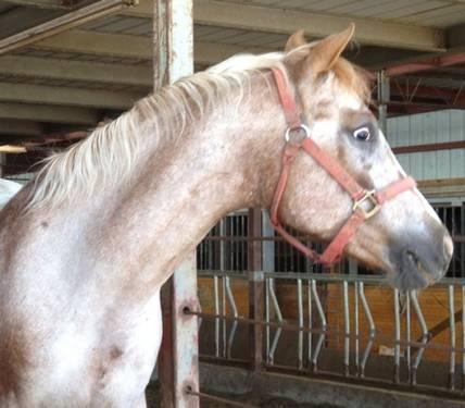 Appaloosa - Baby - Medium - Adult - Female - Horse
