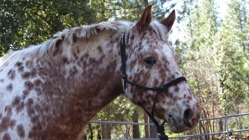 Appaloosa - Jenna - Large - Adult - Female - Horse