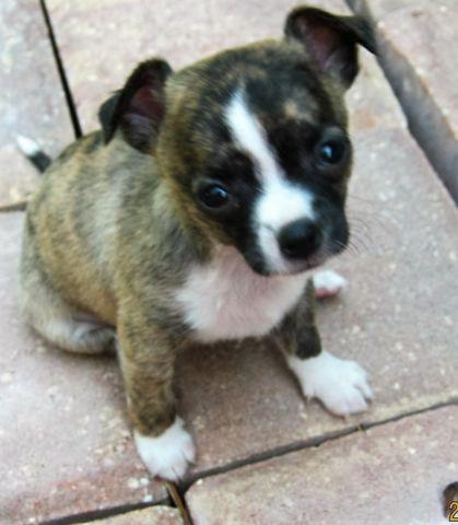 teacup applehead chihuahua for sale in Jacksonville, Florida