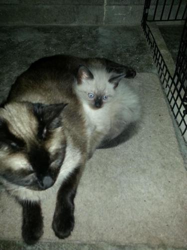 Siamese Kittens For Sale Ohio Petfinder
