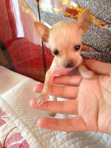 Applehead teacup Chihuahua puppy for Sale in San Diego