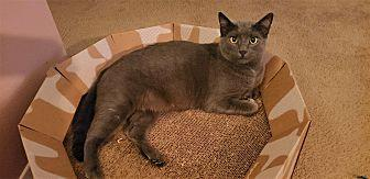 Applesauce Russian Blue Young Female