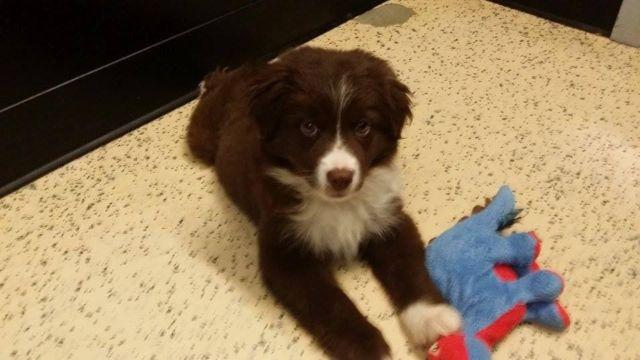 APR Mini Australian Shepherd