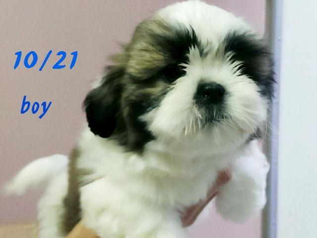 Apri Registered Potty Trained Shih Tzu Puppies 3 Boys For Sale In