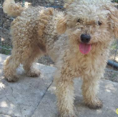 Poodle For Sale In Florida Classifieds Buy And Sell In