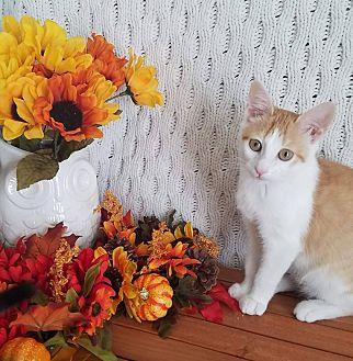 Apricot Domestic Shorthair Young Female
