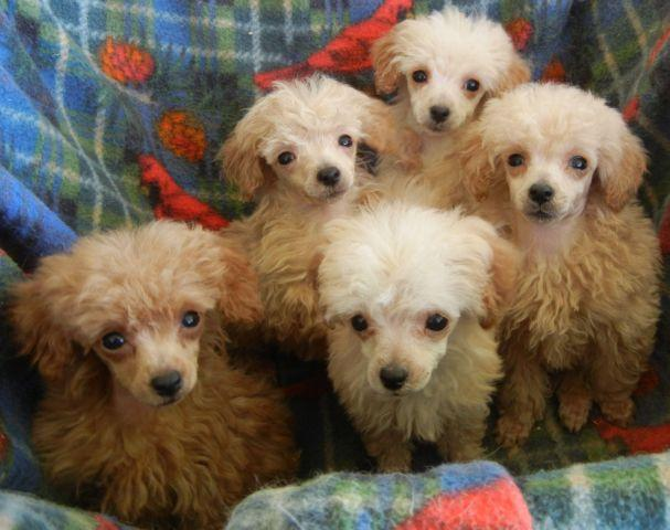 Apricot Toy Poodle Pups For Sale In Weatherford Texas