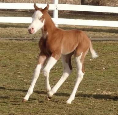 AQHA/APHA 2013 colt by TD Kid x Gold Temptation