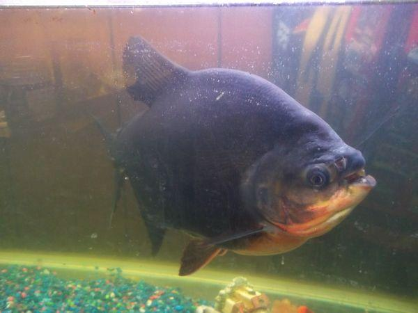 Aquarium fish for sale hanford for sale in hanford for Pacu fish for sale
