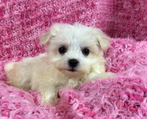 Aquila Teacup Maltese Puppies For Sale In Chicago Illinois