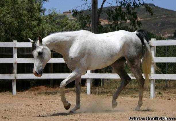 Arabian Horse Grey Gelding 16hh Padrons Psyche