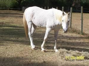 Arabian - Samara - Small - Adult - Female - Horse