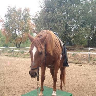 Star - Medium - Adult - Female - Horse for Sale in Kingsley, Michigan ...: kingsley-mi.americanlisted.com/49649/horses-rides/arabian-star...