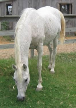 Arabian - White Arabian - Large - Adult - Female -