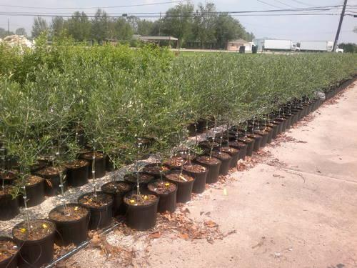 Arbequina Olive Trees For Sale In Metairie Louisiana Classified