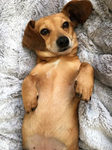 Archie In Ny Dachshundchihuahua Mix Dachshund Young Adoption