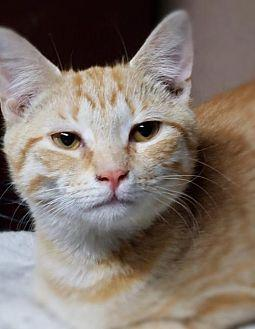 Ardan Domestic Shorthair Young Male