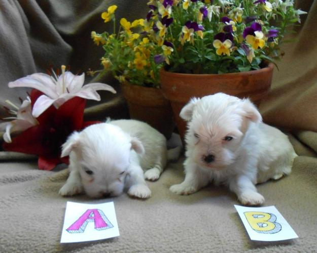 ARPI reg. Maltese puppies