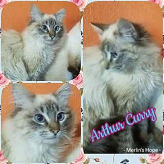 Arthur Curry Ragdoll Kitten Male for Sale in Ennis, Texas Classified
