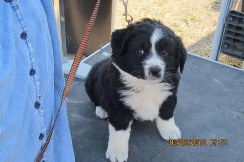 ASCA Registerable Australian Shepherd Puppy
