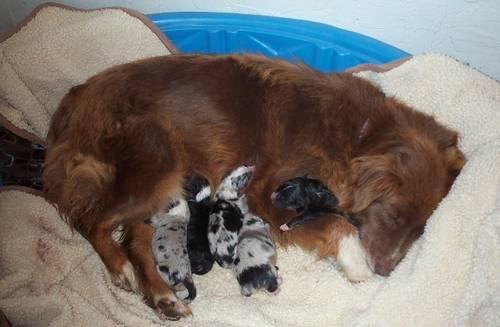 Australian Shepherd Puppies For Sale Near Oklahoma City