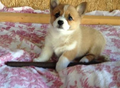 Corgi Puppies Pets And Animals For Sale In Florida Puppy And