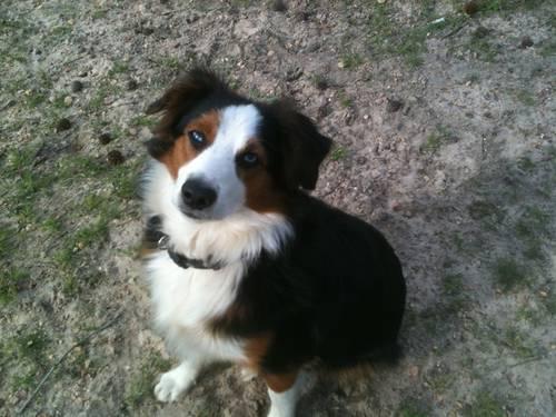Asdr Miniature Australian Shepherd Puppies For Sale In New