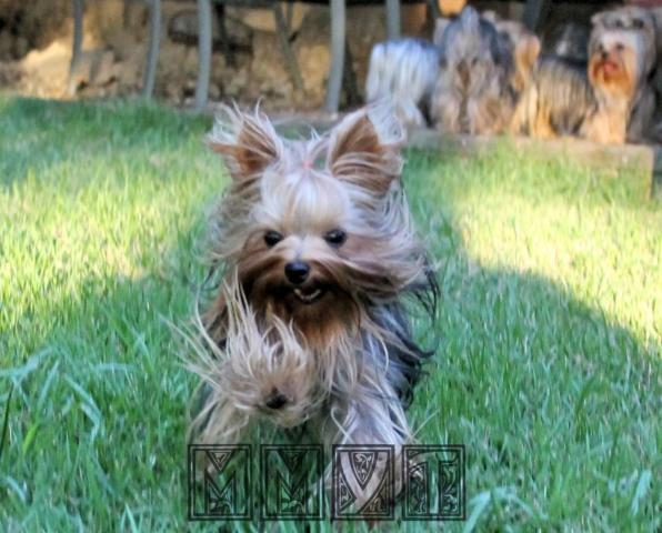 Ash - male Yorkie - 1.5yrs Old - under 4lbs