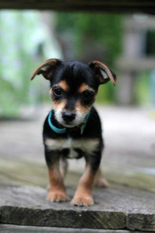 Toy Fox Terrier Mix Tiny