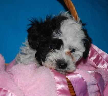 Asia is a Beautiful little Toy Poodle!
