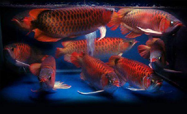 Asian Red and Chili Red with Asian Red and 24K Golden Arowana