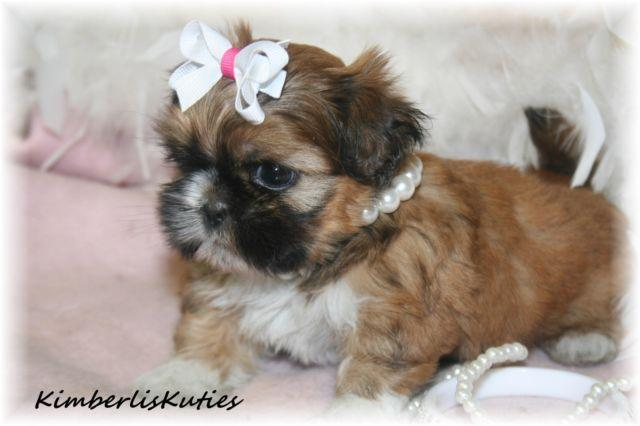Aspen Sable With Gold Mask Little Shih Tzu Female For Sale In