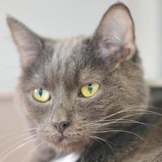 Athena Domestic Mediumhair Adult Female
