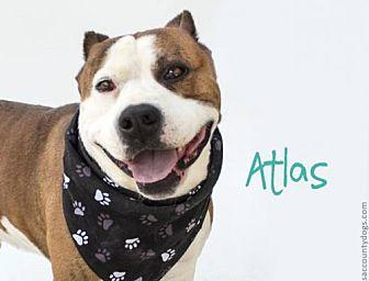 *ATLAS Pit Bull Terrier Adult Male
