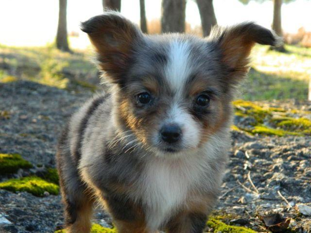 Corgi Pets And Animals For Sale In Fort Towson Oklahoma Puppy And