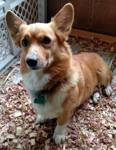 Welsh Corgi For Sale In Sacramento California Classifieds Buy And