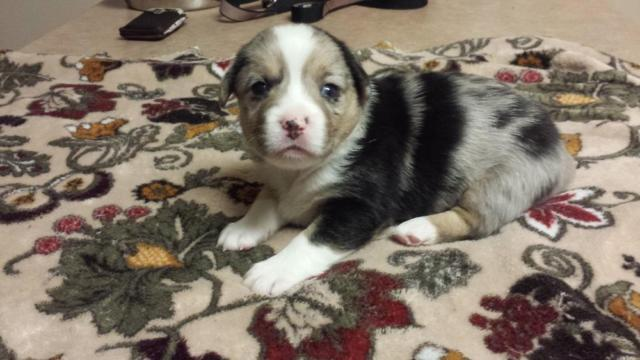 Pets And Animals For Sale In Middletown Indiana Puppy And Kitten