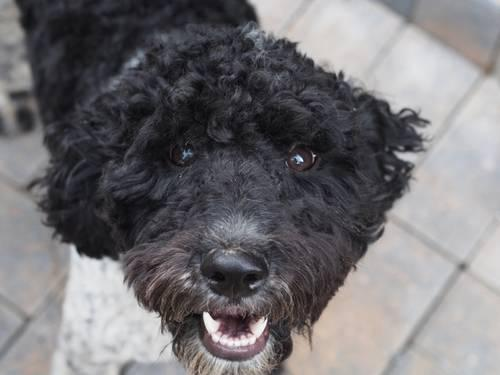Aussie-Poo (Austrailian Shepherd Poodle Hybrid)