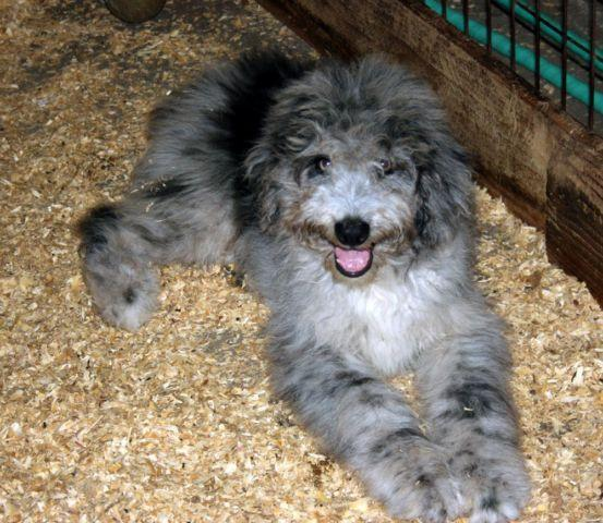 Aussiedoodle Blue Merle Male For Sale In Land O Lakes
