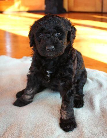 AussieDoodle Puppies Ready for a Good Home