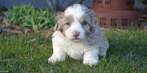 Aussiedoodle Puppy For Sale Adoption Rescue For Sale In Arthur