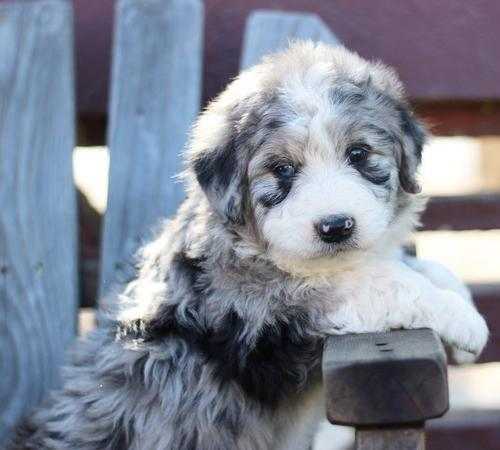 Aussiedoodle For Sale In California Classifieds Buy And Sell In