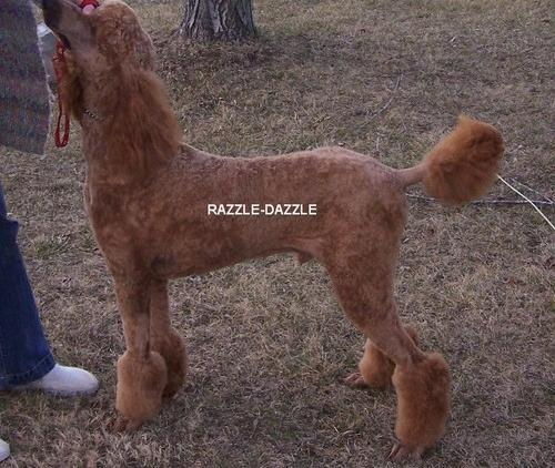 Aussiedoodle Puppy for Sale - Adoption, Rescue for Sale in